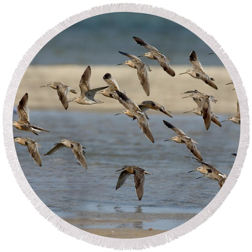 Animal Round Beach Towel featuring the photograph Short-billed Dowitchers Flying by Anthony Mercieca