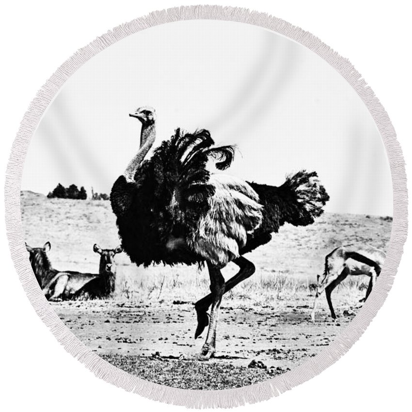 Ostrich Round Beach Towel featuring the photograph Show-off V2 by Douglas Barnard