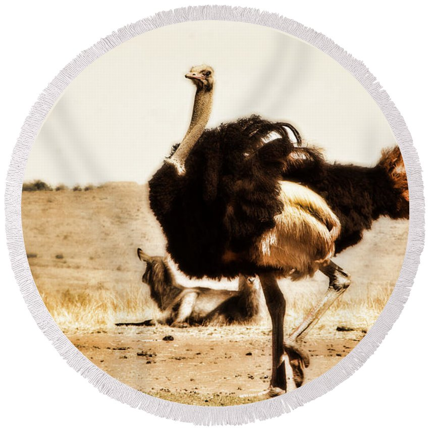 Ostrich Round Beach Towel featuring the photograph Show-off V4 by Douglas Barnard