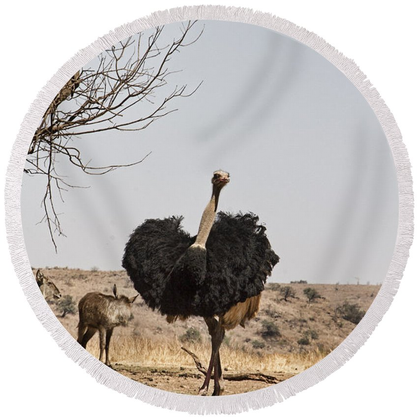 Ostrich Round Beach Towel featuring the photograph Show-off V6 by Douglas Barnard