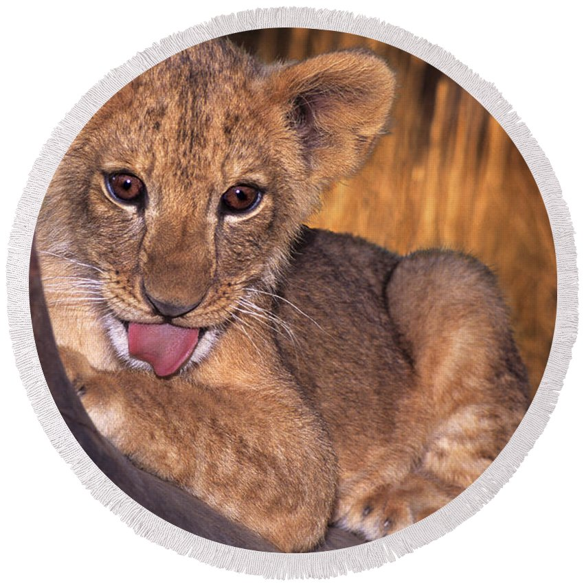 African Lion Round Beach Towel featuring the photograph Shy African Lion Cub Wildlife Rescue by Dave Welling