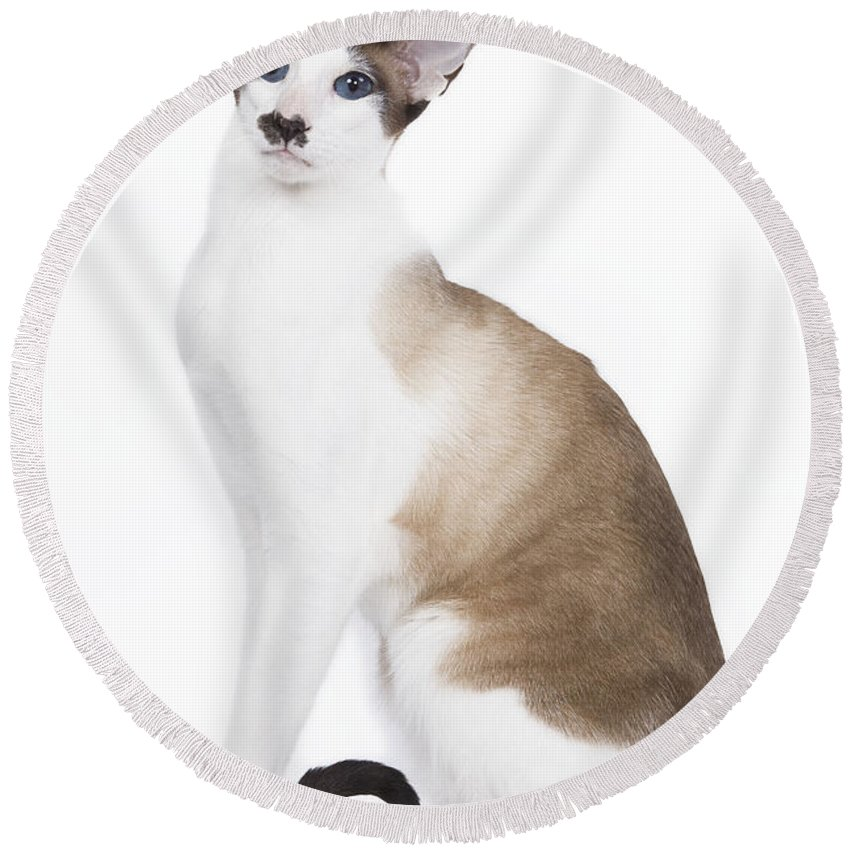 Cat Round Beach Towel featuring the photograph Siamese Cat by Jean-Michel Labat