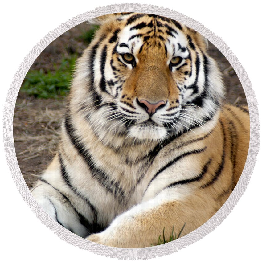 Siberian Tiger Round Beach Towel featuring the photograph Siberian Tiger by Anthony Totah