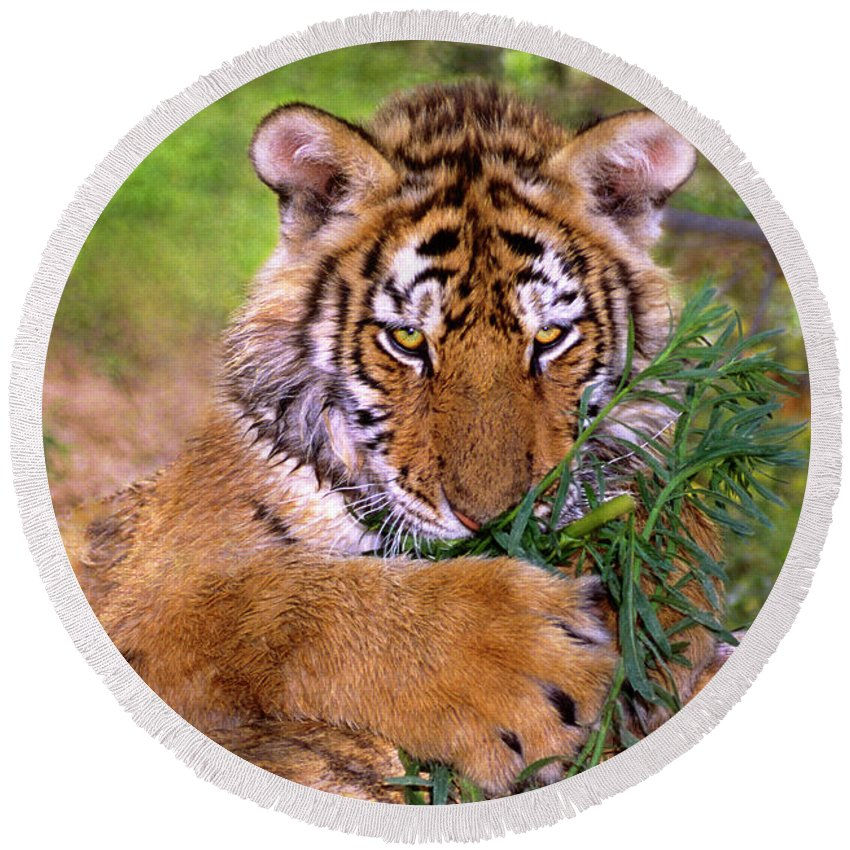 Siberian Tiger Round Beach Towel featuring the photograph Siberian Tiger Cub Endangered Species Wildlife Rescue by Dave Welling