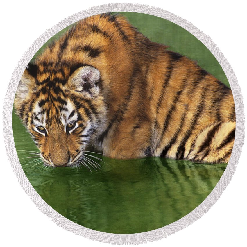 Siberian Tiger Round Beach Towel featuring the photograph Siberian Tiger Cub In Pond Endangered Species Wildlife Rescue by Dave Welling
