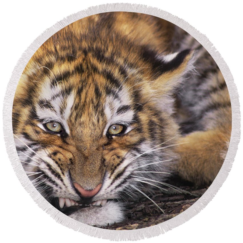 Siberian Tiger Round Beach Towel featuring the photograph Siberian Tiger Cub Panthera Tigris Altaicia Wildlife Rescue by Dave Welling
