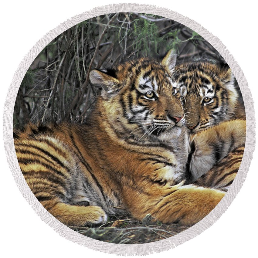 Siberian Tiger Round Beach Towel featuring the photograph Siberian Tiger Cubs Endangered Species Wildlife Rescue by Dave Welling