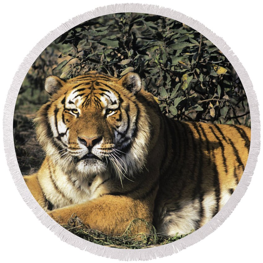 Siberina Tiger Round Beach Towel featuring the photograph Siberian Tiger Endangered Species Wildlife Rescue by Dave Welling