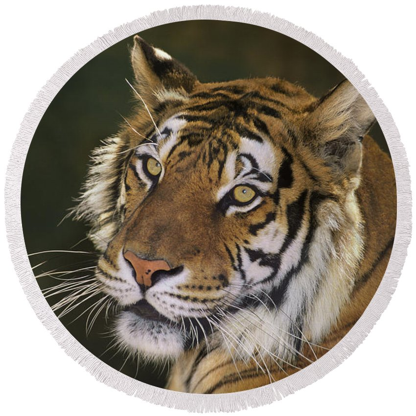 Siberian Tiger Round Beach Towel featuring the photograph Siberian Tiger Portrait Endangered Species Wildlife Rescue by Dave Welling