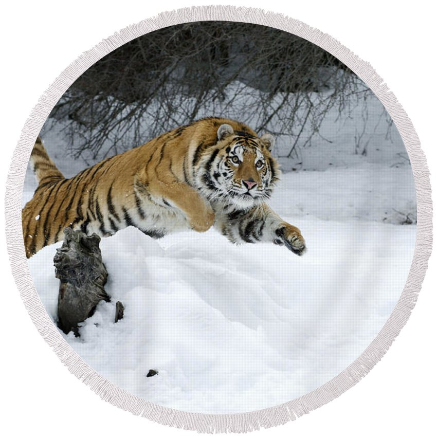 Tiger Round Beach Towel featuring the photograph Siberian Tiger by Sandra Bronstein