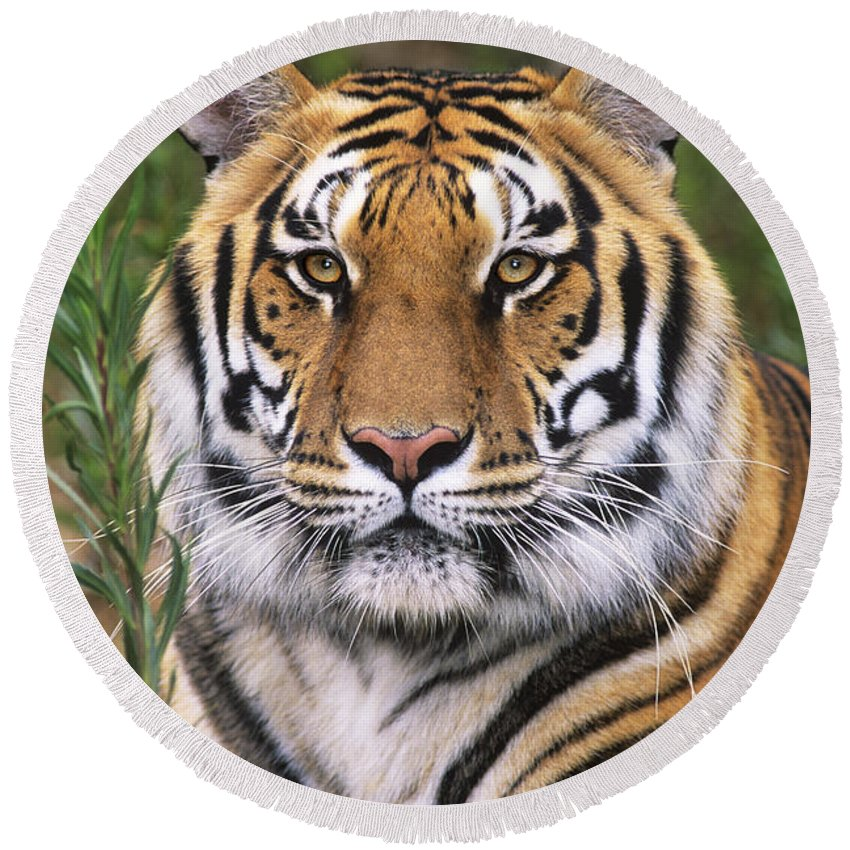 Siberian Tiger Round Beach Towel featuring the photograph Siberian Tiger Staring Endangered Species Wildlife Rescue by Dave Welling