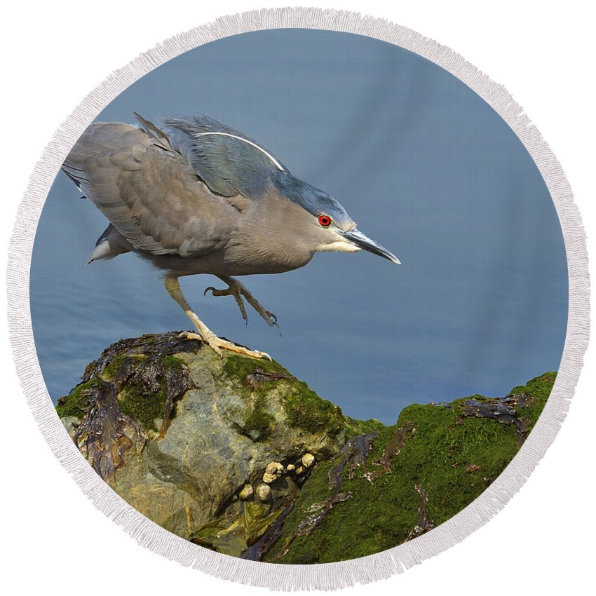 Black-crowned Night Heron Round Beach Towel featuring the photograph Silent Steps by Tony Beck