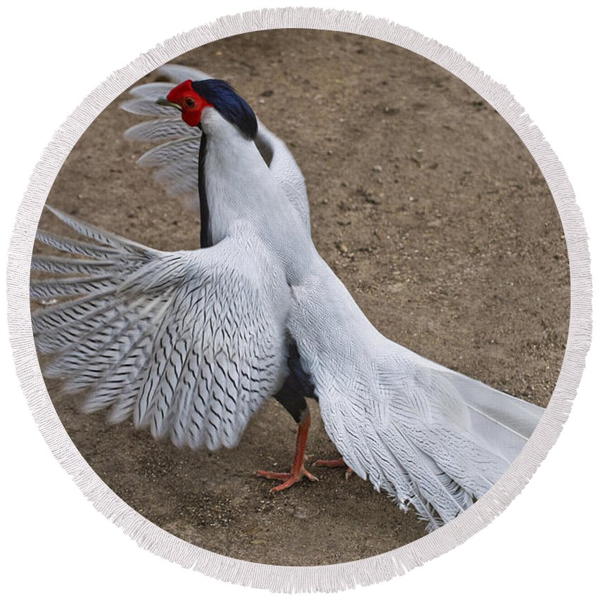 Silver Pheasant Round Beach Towel featuring the photograph Silver Pheasant by Anthony Mercieca