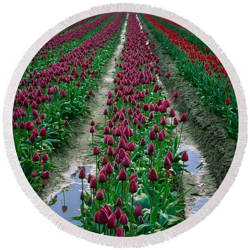 America Round Beach Towel featuring the photograph Skagit Valley Tulips by Inge Johnsson