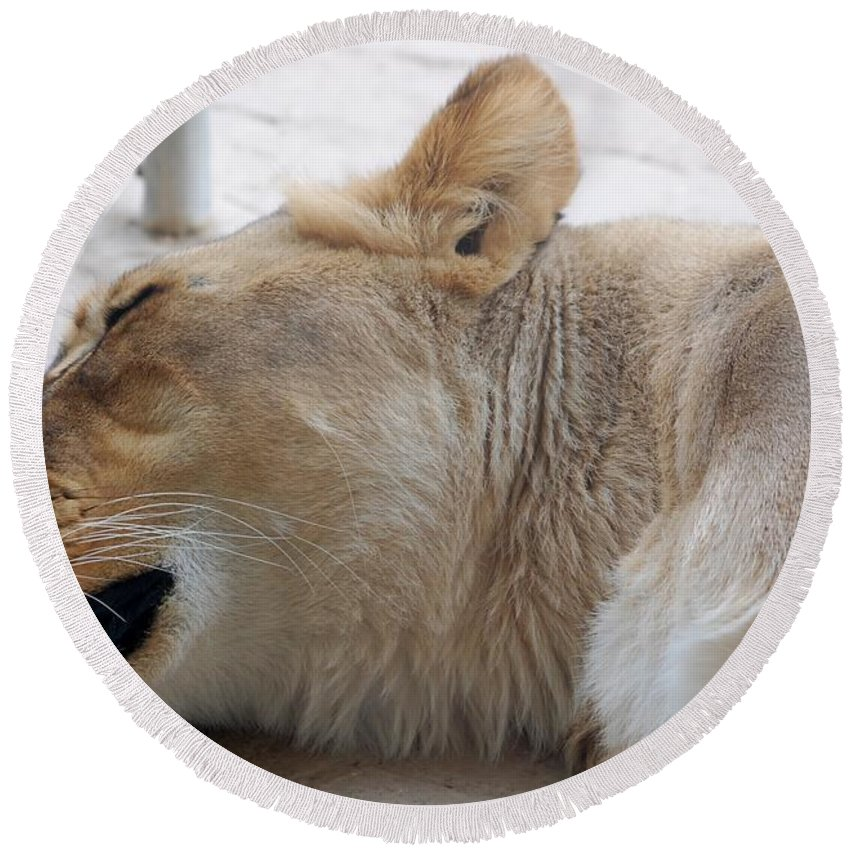 Lioness Round Beach Towel featuring the photograph Sleeping Lioness by Susan Garren
