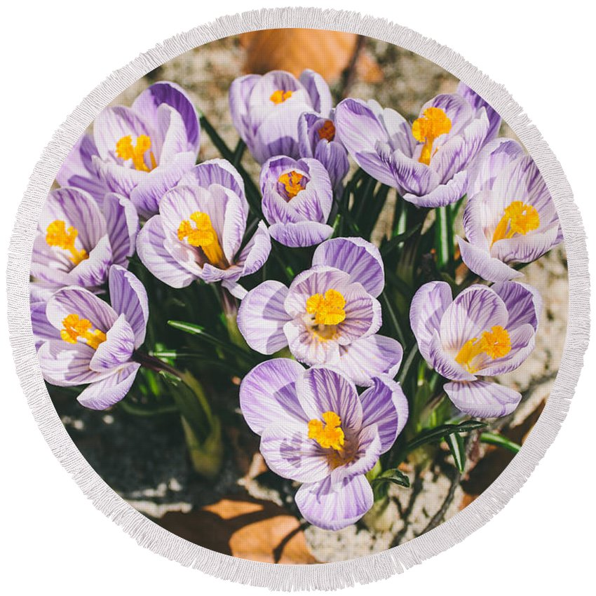 Crocus Round Beach Towel featuring the photograph Small Crocus Flower Field by Pati Photography