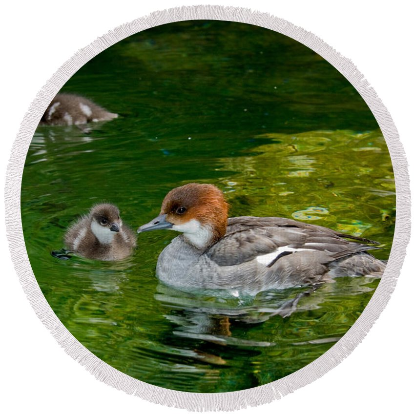 Fauna Round Beach Towel featuring the photograph Smew With Ducklings by Anthony Mercieca