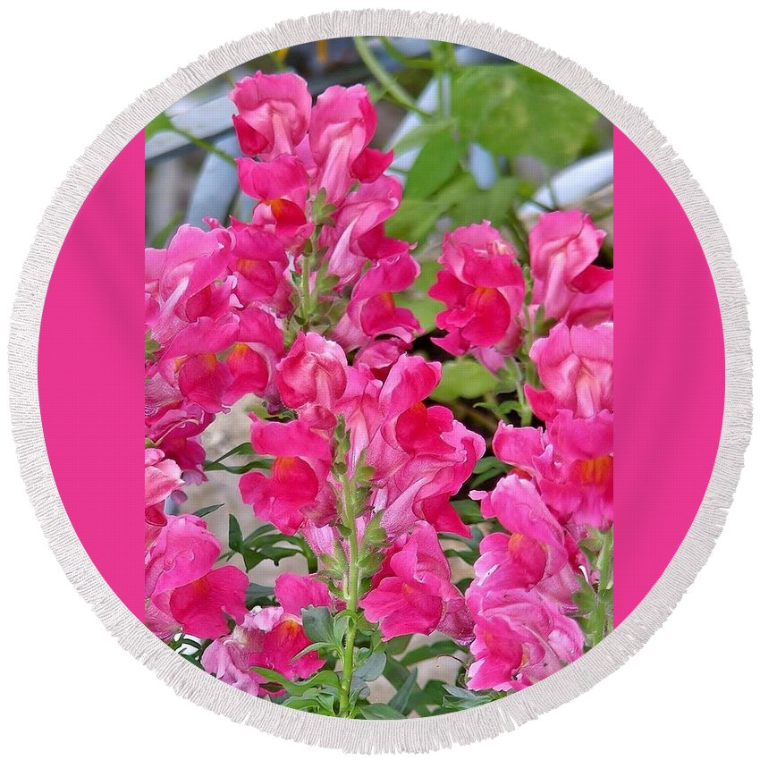 Floral Round Beach Towel featuring the photograph Snapdragons by Kim Bemis