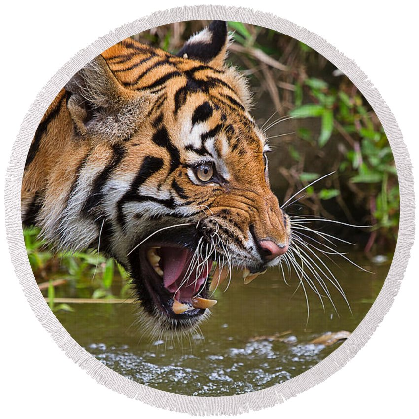 Nature Round Beach Towel featuring the photograph Snarling Tiger by Louise Heusinkveld