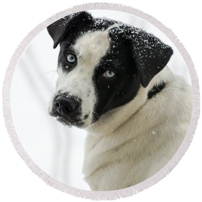 Dog Round Beach Towel featuring the photograph Snow Puppy by Jan M Holden