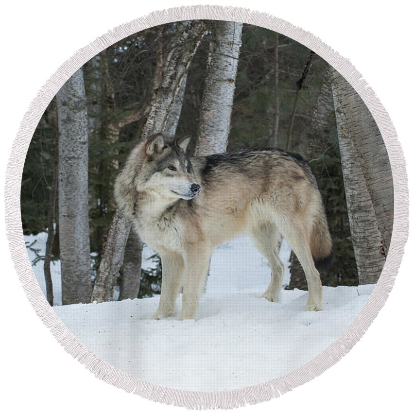 Wolf Round Beach Towel featuring the photograph Snowy Day Trek by Sandra Bronstein
