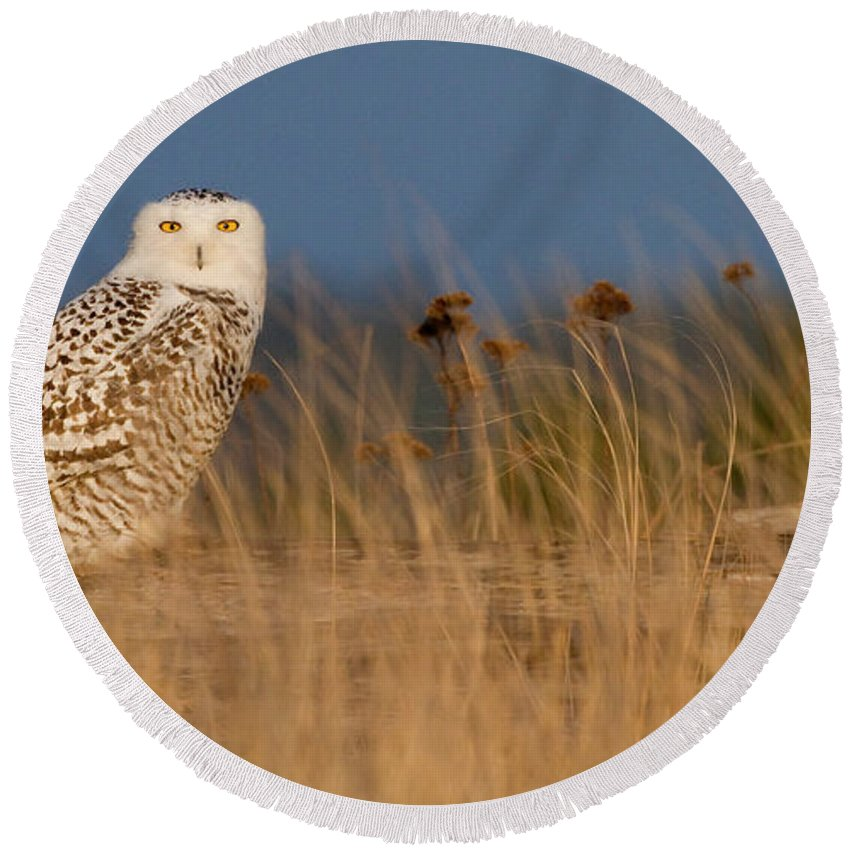 Snowy Owl Round Beach Towel featuring the photograph Snowy Owl Morning by Max Waugh