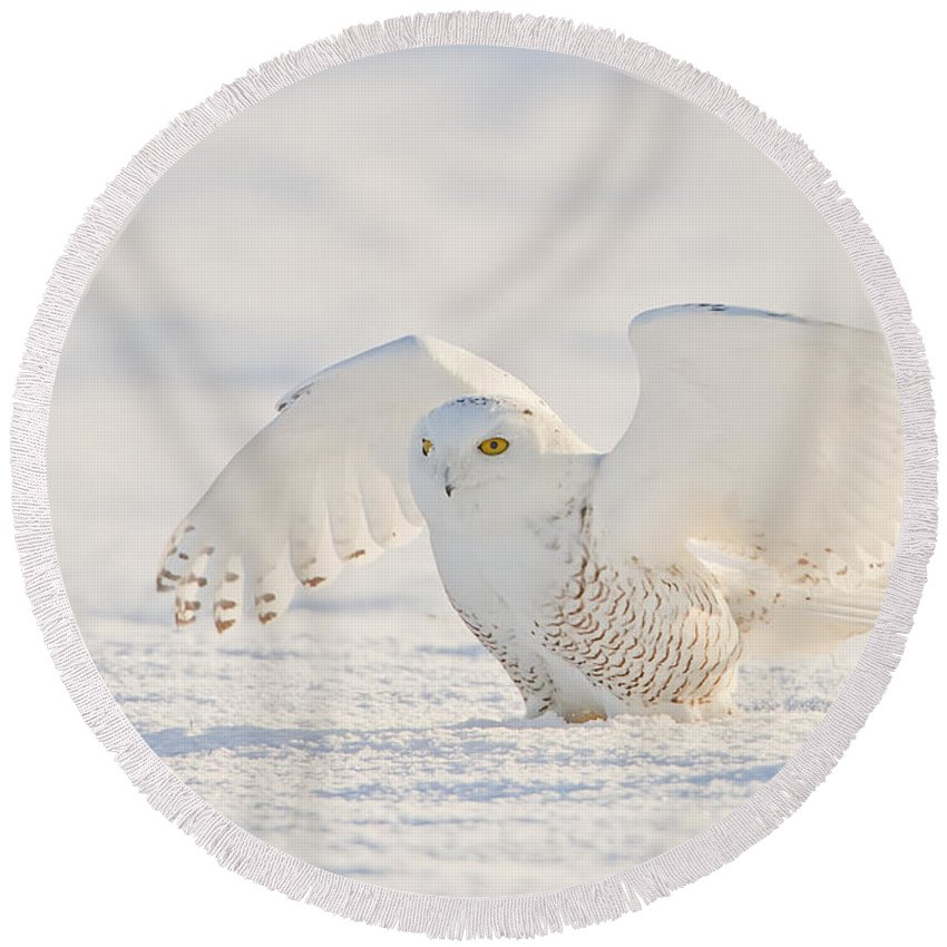Snowy Owl Round Beach Towel featuring the photograph Snowy Owl- Ready For Takeoff by John Vose
