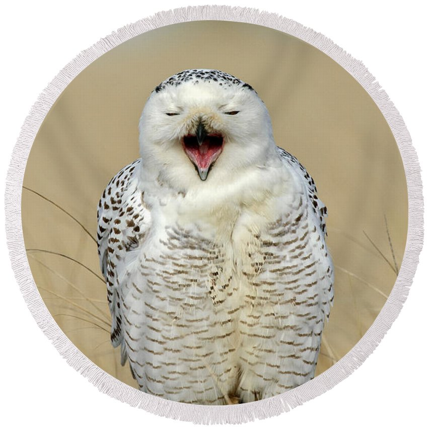 Bird Round Beach Towel featuring the photograph Snowy Owl Yawning by Anthony Mercieca