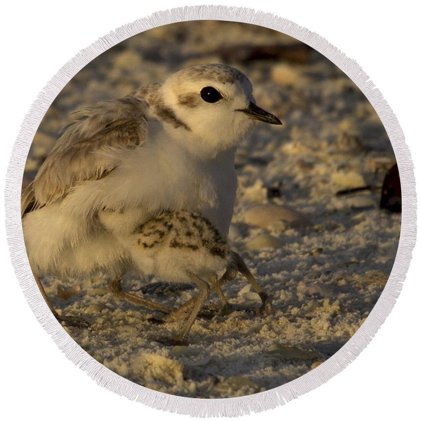Snowy Plover Round Beach Towel featuring the photograph Snowy Plover Transformation Into A Spiderbird 1 by Meg Rousher
