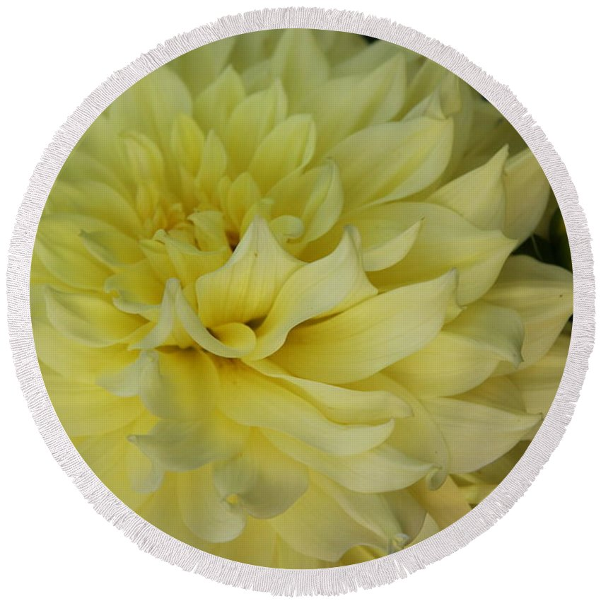 Yellow Dahlia Round Beach Towel featuring the photograph Soft Yellow Dahlia by Christiane Schulze Art And Photography