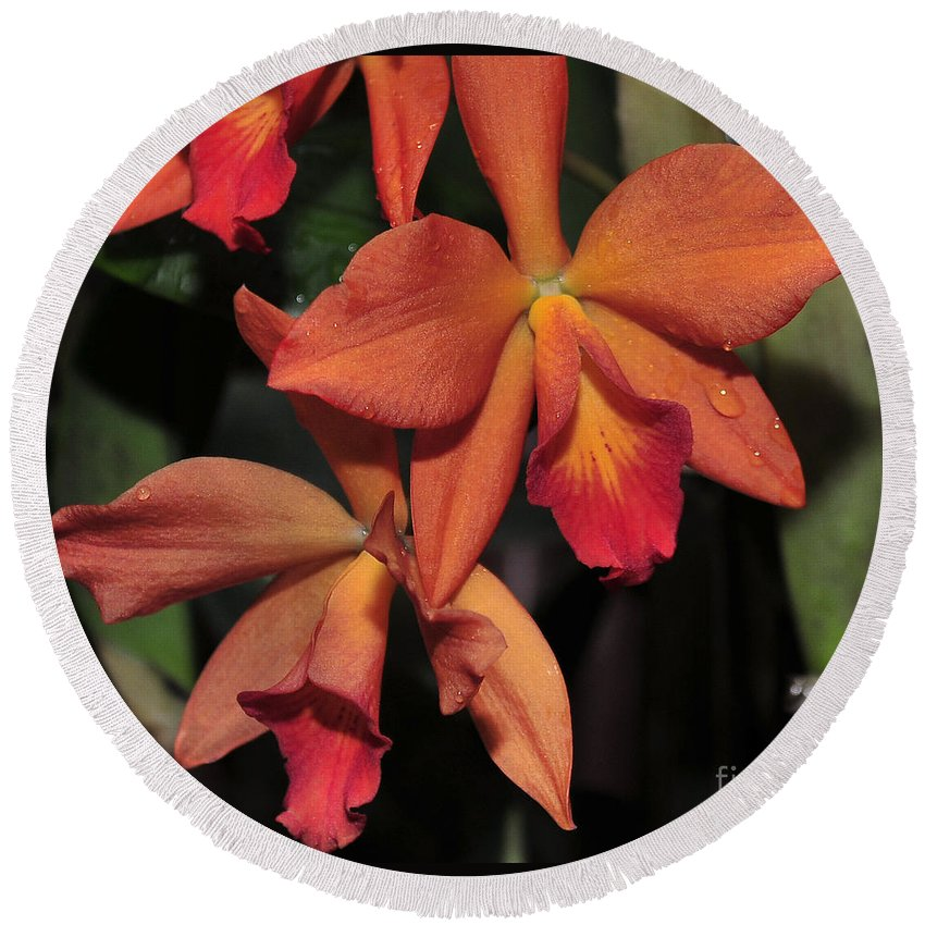 Orange Orchid Round Beach Towel featuring the photograph Sophrolaeliocattleya Maui Elf by Terri Winkler