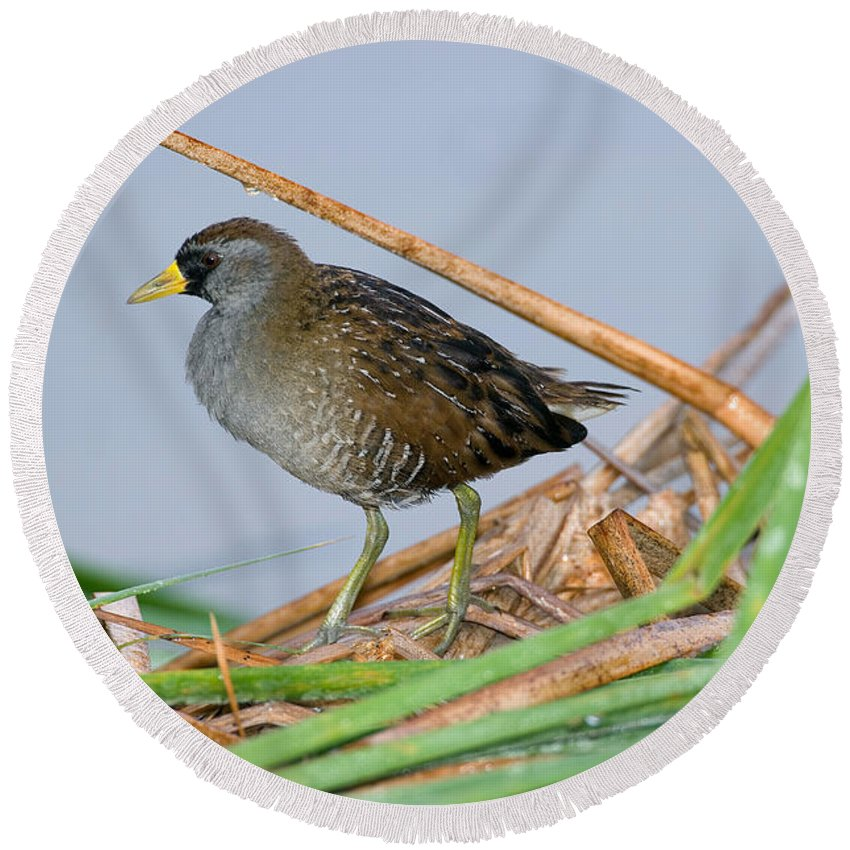 Animal Round Beach Towel featuring the photograph Sora Rail by Anthony Mercieca