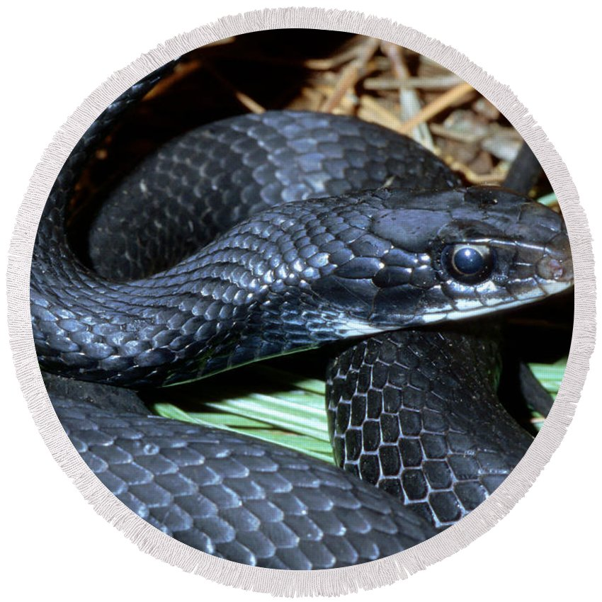 Animal Round Beach Towel featuring the photograph Southern Black Racer Coluber Priapus by Millard H. Sharp