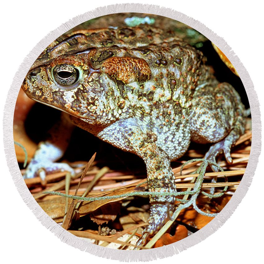Animal Round Beach Towel featuring the photograph Southern Toad Bufo Terrestris by Millard H. Sharp