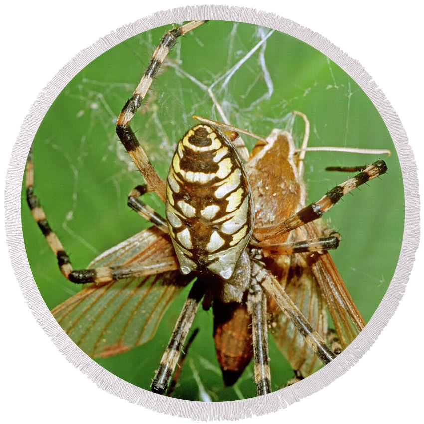 Nature Round Beach Towel featuring the photograph Spider Eating Moth by Millard H. Sharp