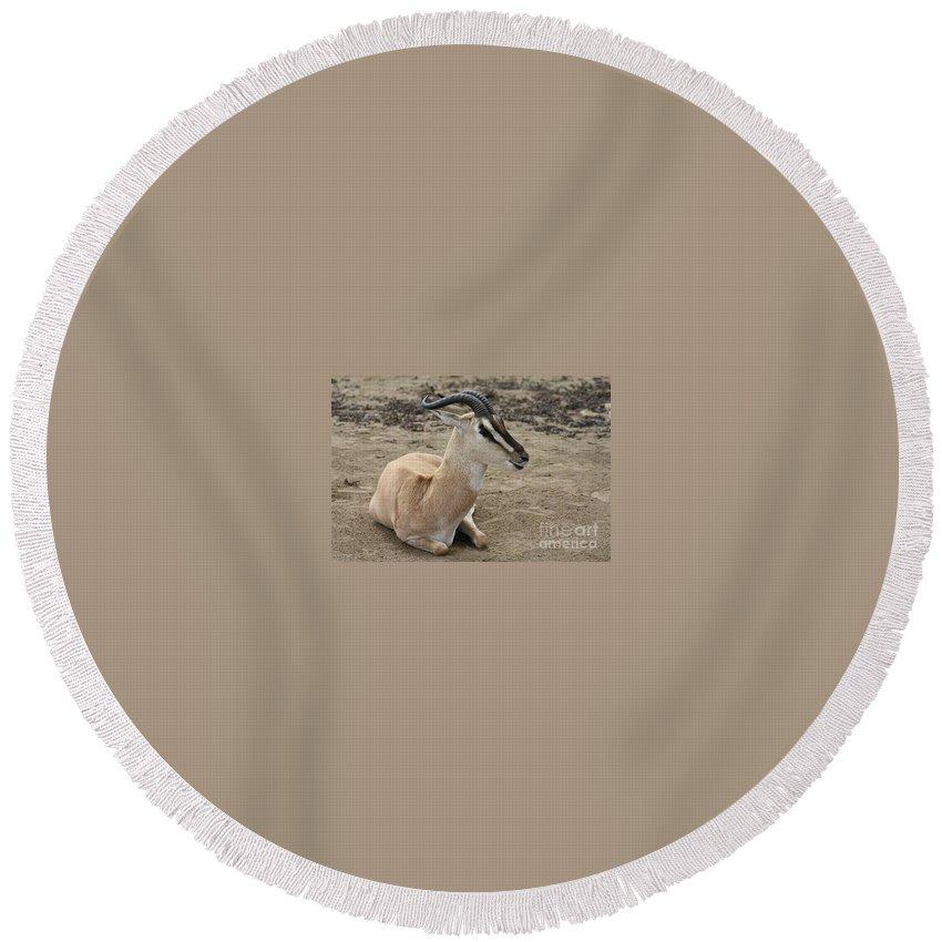 Spiral Horned Antelope Round Beach Towel featuring the photograph Spiral Horned Antelope by John Telfer