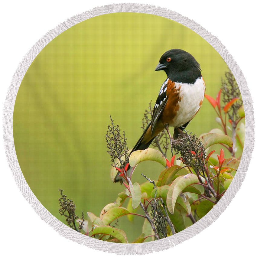 Spotted Towhee Round Beach Towel featuring the photograph Spotted Towhee by Ram Vasudev