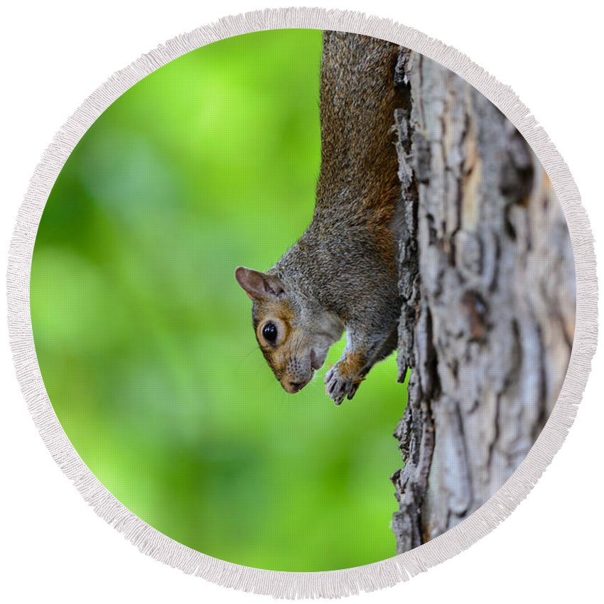 Squirrel Round Beach Towel featuring the photograph Squirrel In A Tree by Matt Malloy