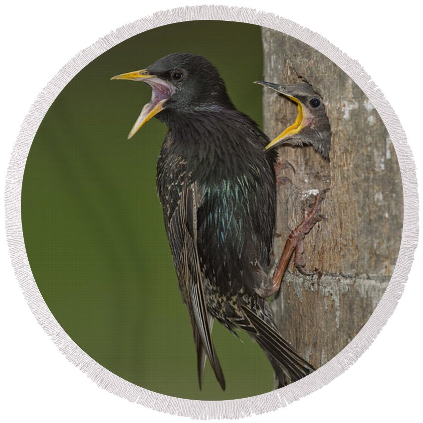 European Starling Round Beach Towel featuring the photograph Starling And Young by Anthony Mercieca