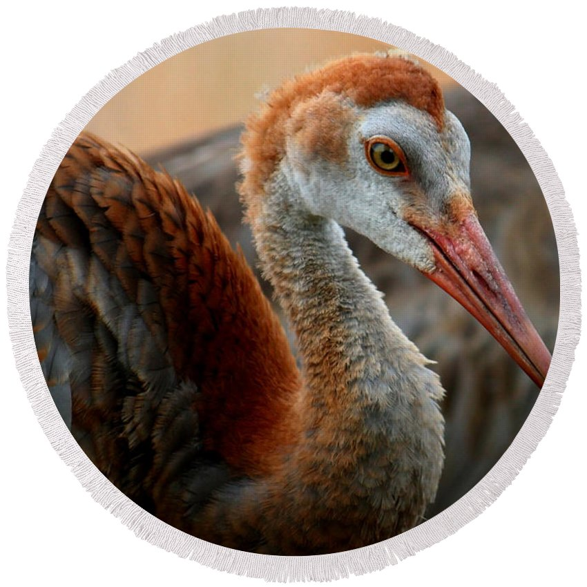 Sandhill Crane Round Beach Towel featuring the photograph Staying Close To Mom by Carol Groenen