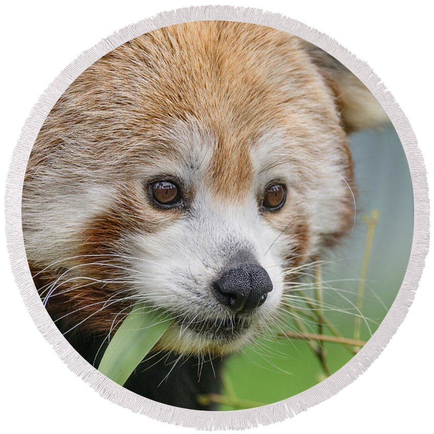 Red Panda Round Beach Towel featuring the photograph Stella Contemplates by Greg Nyquist