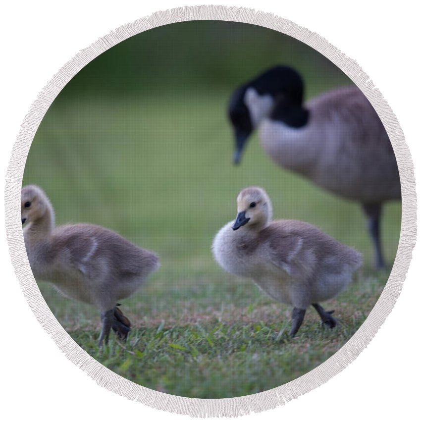 Gosling Round Beach Towel featuring the photograph Strutting Our Stuff by Dale Powell