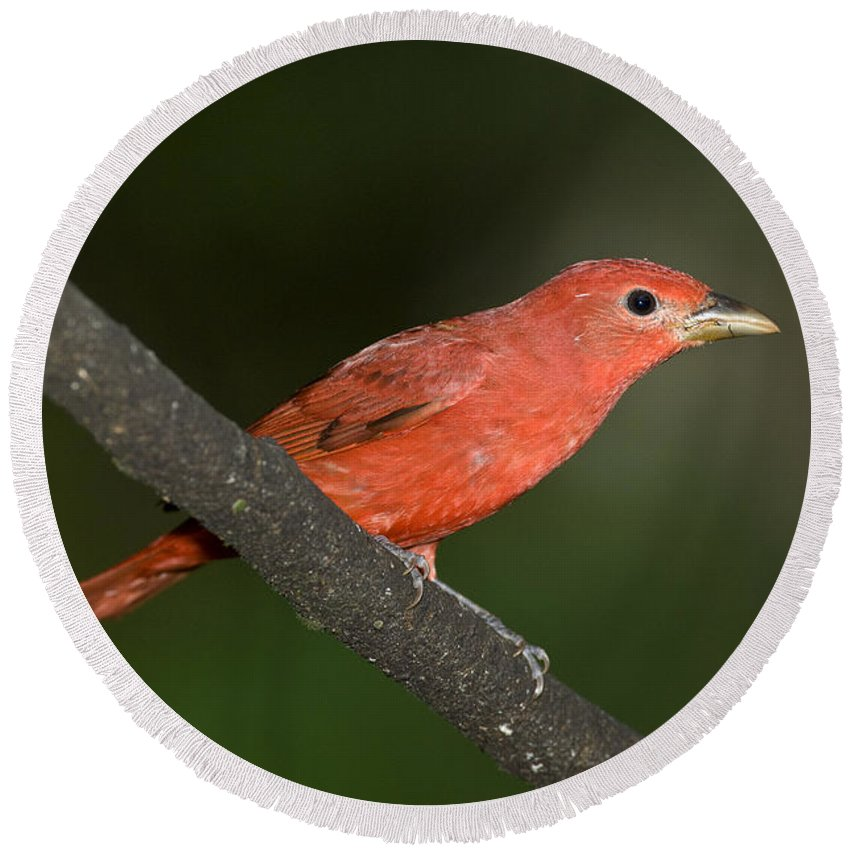 Animal Round Beach Towel featuring the photograph Summer Tanager Male Perched-ecuador by Anthony Mercieca