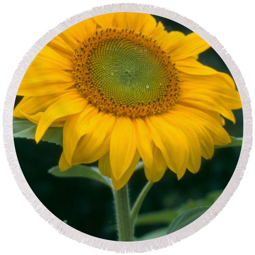 Flower Round Beach Towel featuring the photograph Sunflower In Seattle by Heather Kirk