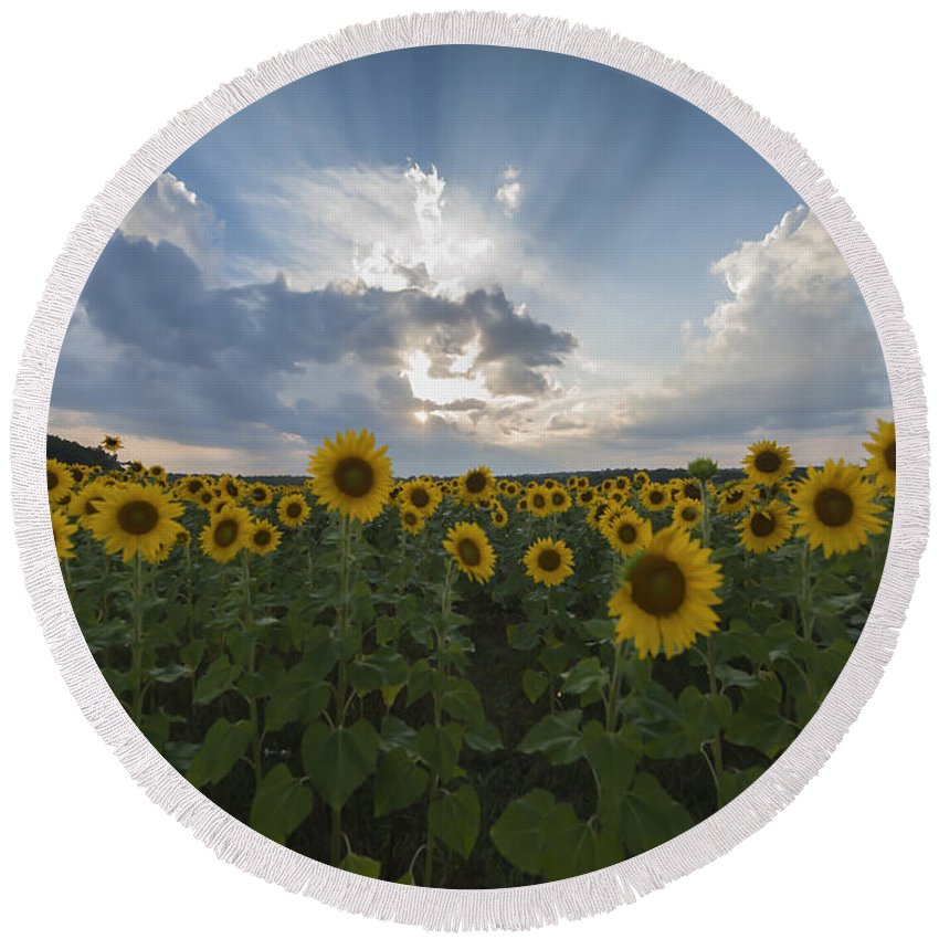 Sunflower Rays Augusta Nj Round Beach Towel featuring the photograph Sunflower Rays Augusta Nj by Terry DeLuco