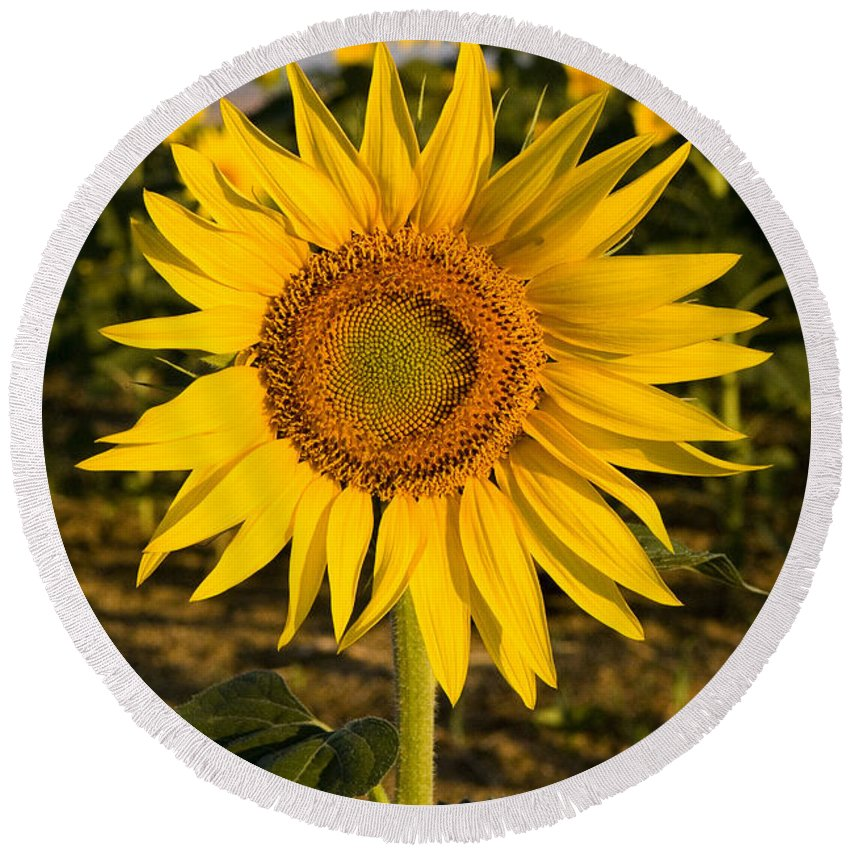 Nature Round Beach Towel featuring the photograph Sunflowers by Tim Holt