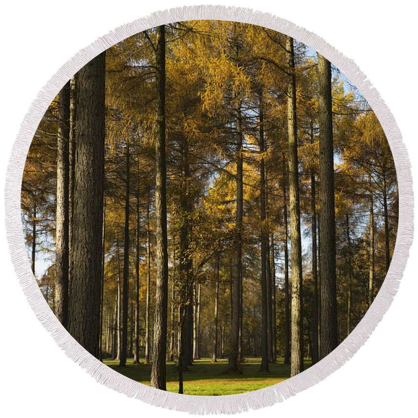 Arboreta Round Beach Towel featuring the photograph Sunny Larch Grove by Anne Gilbert