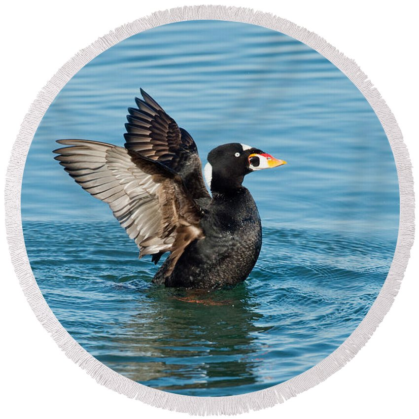 Melanitta Round Beach Towel featuring the photograph Surf Scotter Male Wings by Anthony Mercieca