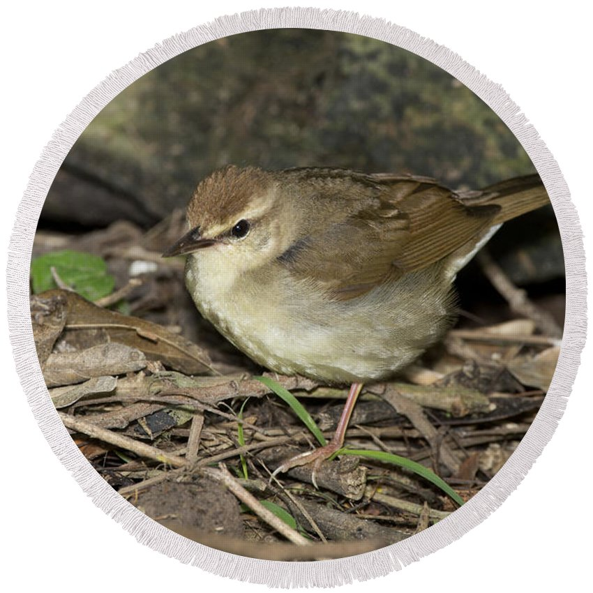 Swainson's Warbler Round Beach Towel featuring the photograph Swainsons Warbler by Anthony Mercieca