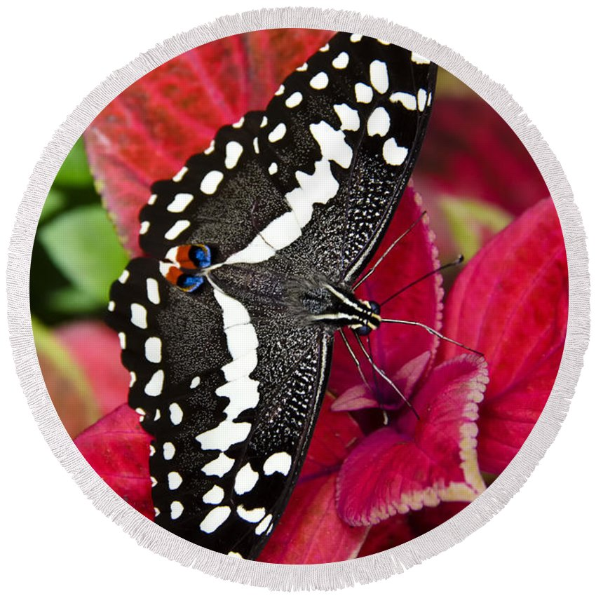 Black And White Butterfly Round Beach Towel featuring the photograph Swallowtail Butterfly by Saija Lehtonen